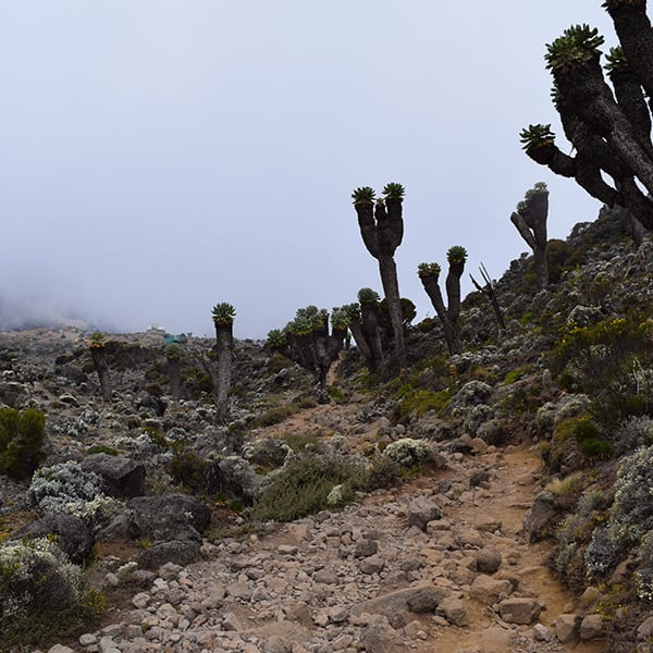 Giant Groundsels trees on kilimanjaro