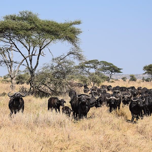 water buffalo on the serengeti