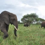 elephants walking through the grass