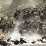 Great Serengeti Migration: wildebeest crossing the mara river